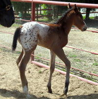 The Miracle Chip Filly
